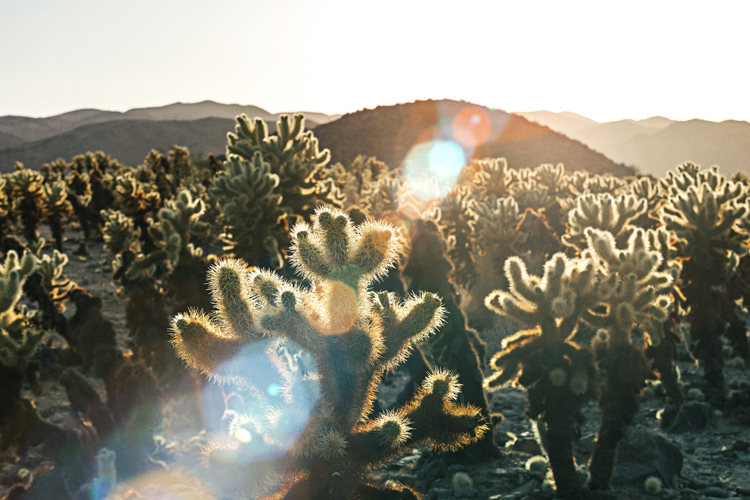 The Cholla Garden @ sunset