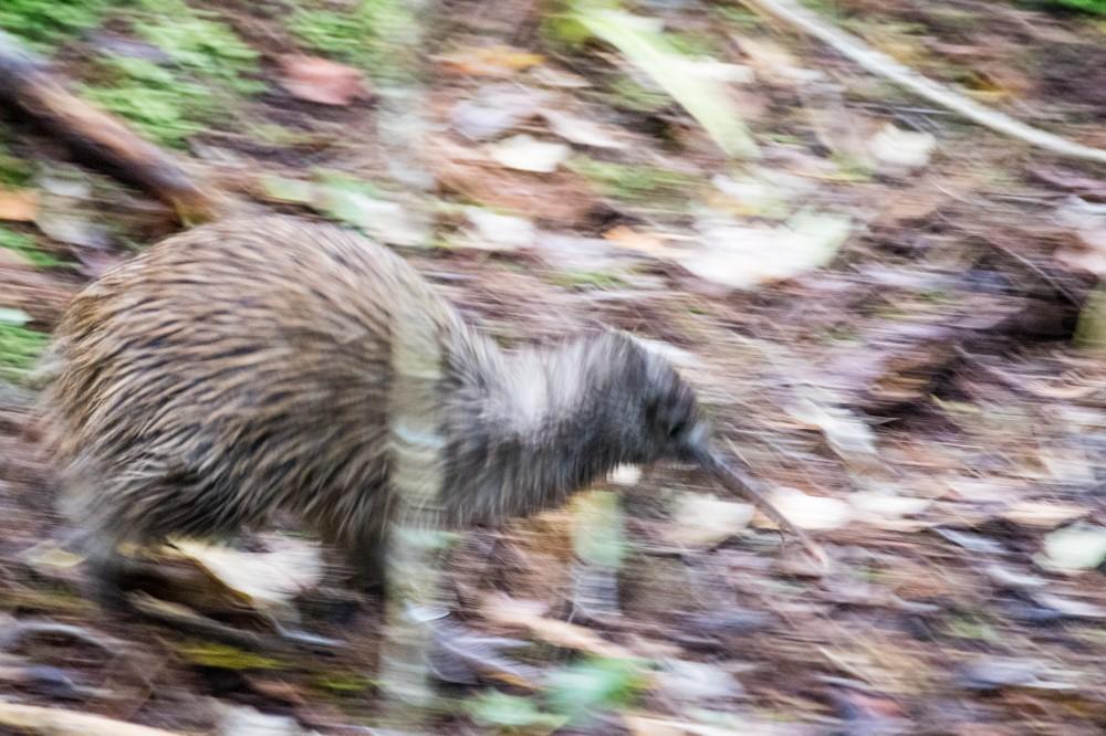 Kiwi running.jpg