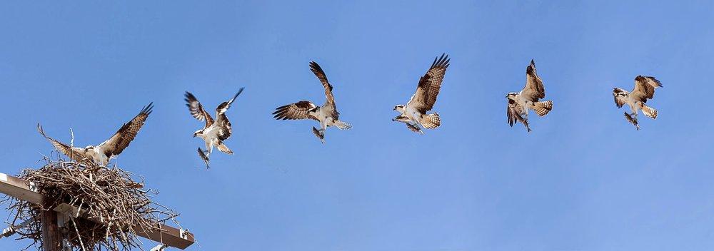 Osprey med.jpg