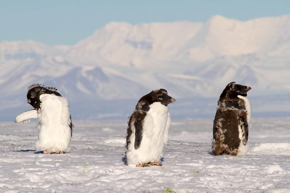 Adelie penguins moulting.jpg