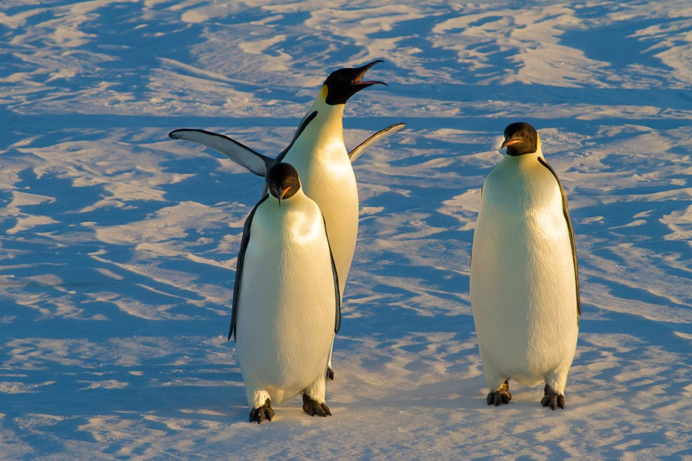 Emperor penguins.jpg