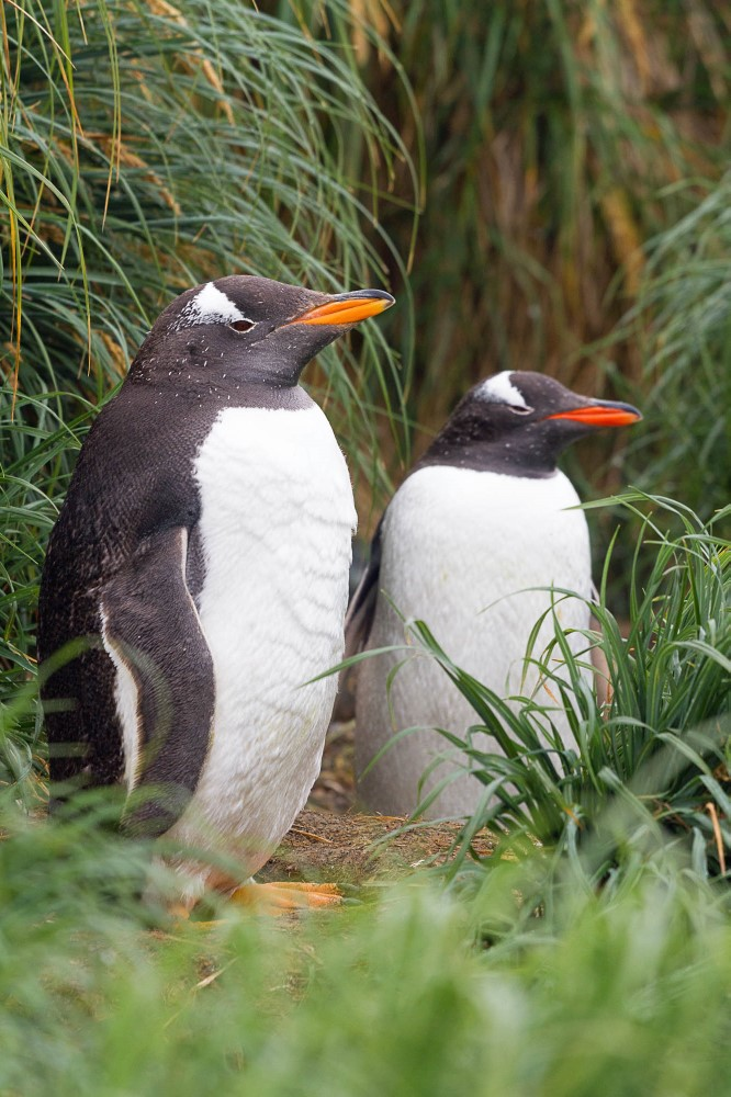 Gentoo penguins.jpg