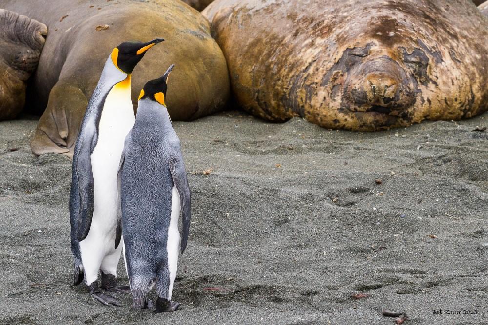 King penguins and elephant seals.jpg