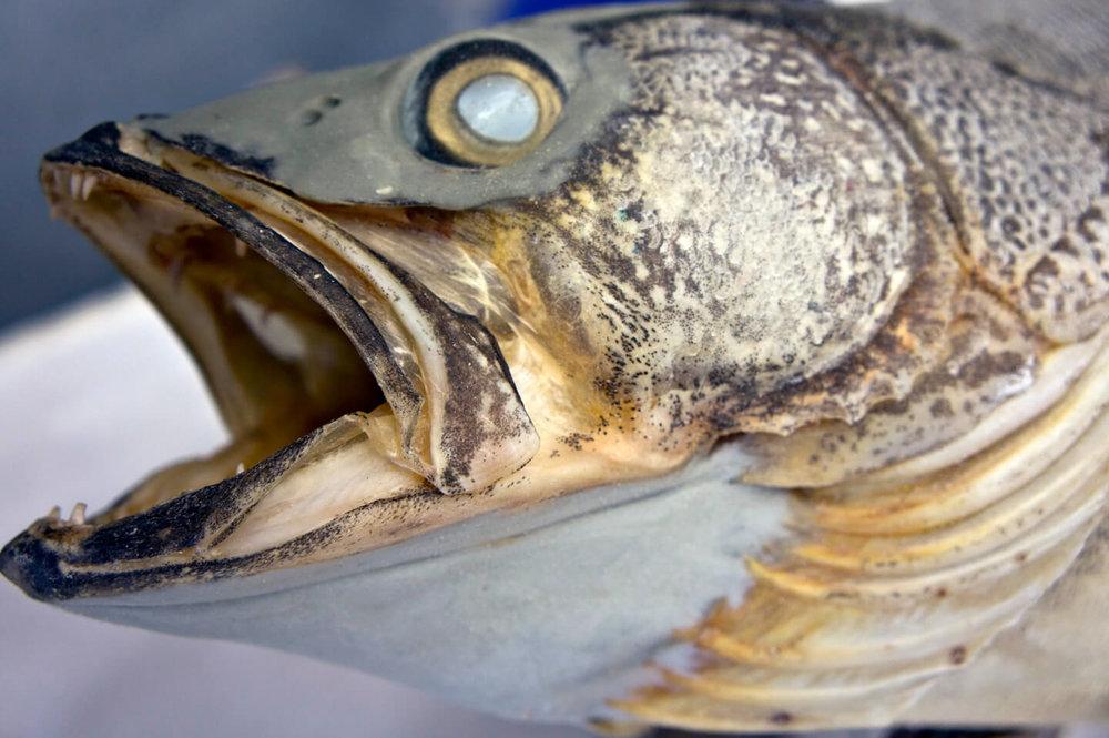fish mount web.jpg