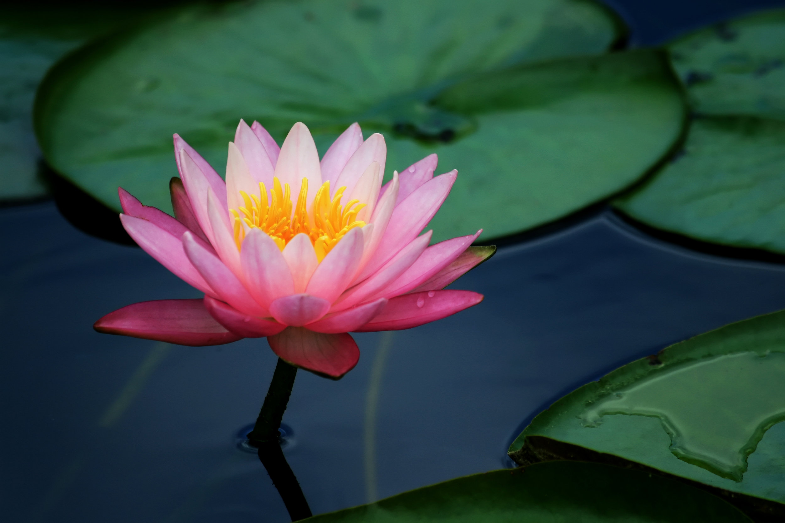 Our homes lily pad living lily pads and lotus flower 1725790g izmirmasajfo