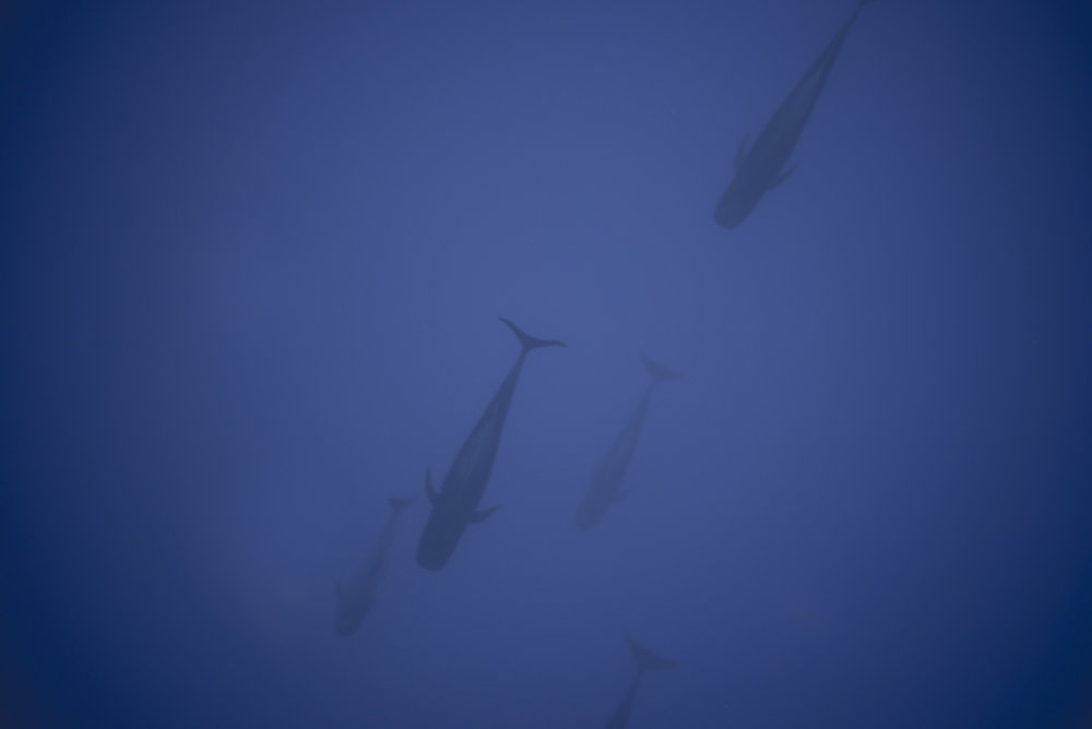 Pelagic Blue: Swimming with Megaptera Novaeangliae in Vava'u - Read about it here.