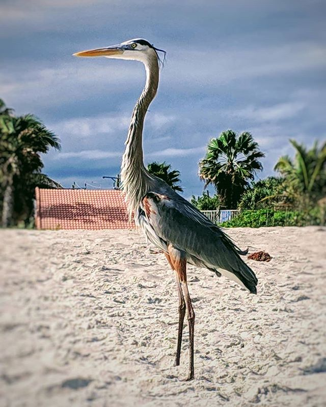 Loved Bird 12-Jan-2018 #GreatBlueHeron #ardea #ardeaherodias #florida #beach #birdwatchingphotography #birdwatching #wildlife