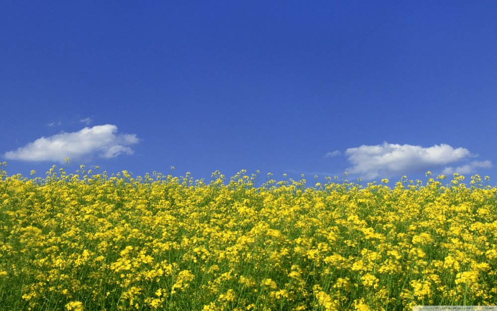mustard_flower_field_1-wallpaper-1280x800.jpg