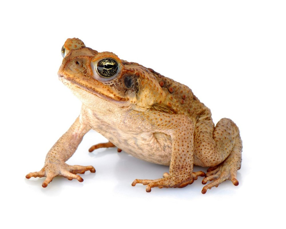 https://upload.wikimedia.org/wikipedia/commons/e/e8/Rhinella_marina_%28Linnaeus,_1758%29_-_cane_toad_%284559944181%2 9.jpg