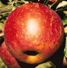 apple_benishogun.jpg