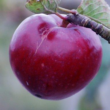 apple_bloodyploughman.jpg