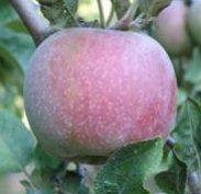 apple_hauerpippin.jpg
