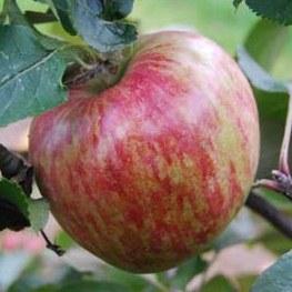 apple_isaacnewtonstree.jpg