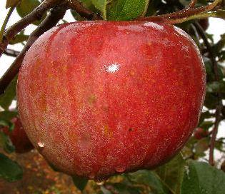 apple_kingluscious.jpg