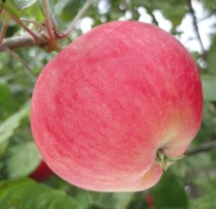 apple_mantet.jpg