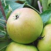 apple_sturmerpippin.jpg