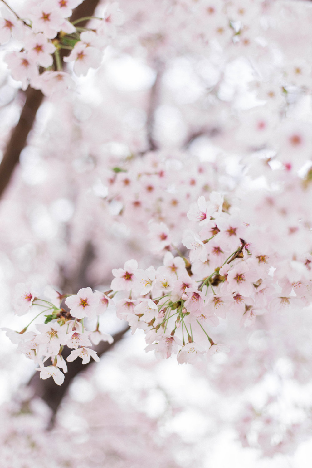 Where to See Cherry Blossoms in South Korea | On the Street Where We Live (aretherelilactrees.com)  sakura, Seoul