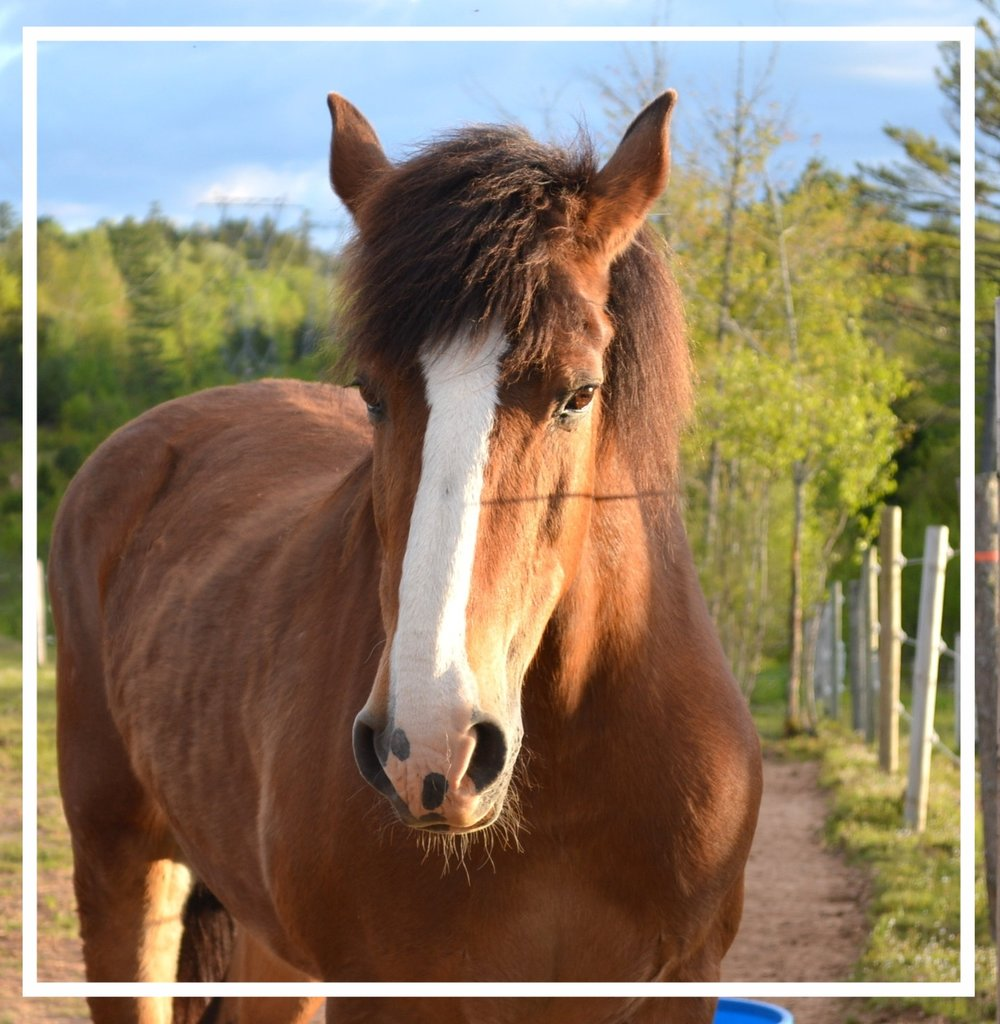 ROYAL.A 30 year old Clydesdale-Quarter Horse cross. She has the wisdom of her years. We wish that she could talk. -