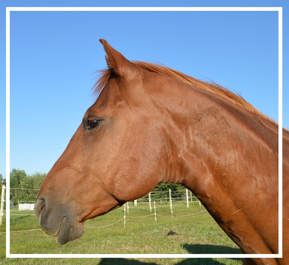 ECO. Full name: Eco Silent Knight.  A13 year old registered Quarter Horse.  He joined us in 2012 and has really come into his own. -