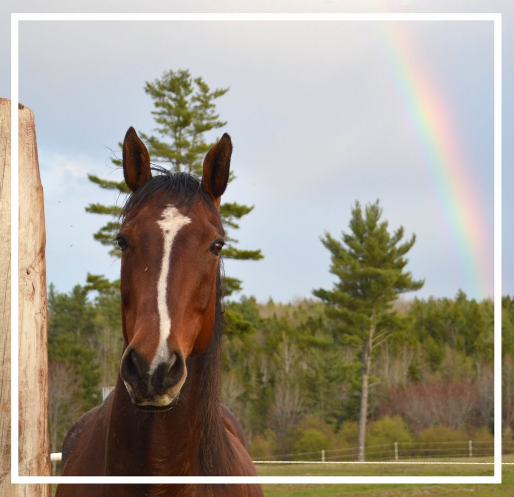 OLIVER.Full name: Oliver with a Twist. Also known as Ollie. A 13 year old Thoroughbred-Quarter Horse gelding (with a little Arabian included). Joined us in 2012. Thinks he is the boss of the herd. -