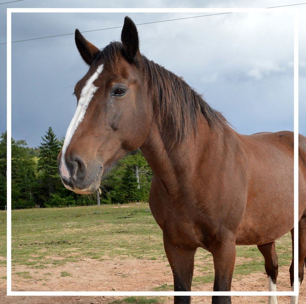 BOSKO.He joined the herd in 2014. Like Royal, he is a Clydesdale-Quarter Horse cross. He is 20 years old. It would seem that sometimes he would rather be with people than with his herd mates. -