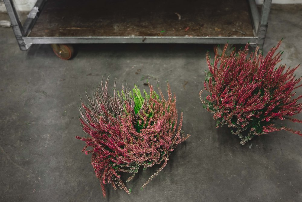 Callula lyng fra Hilverda De Boer