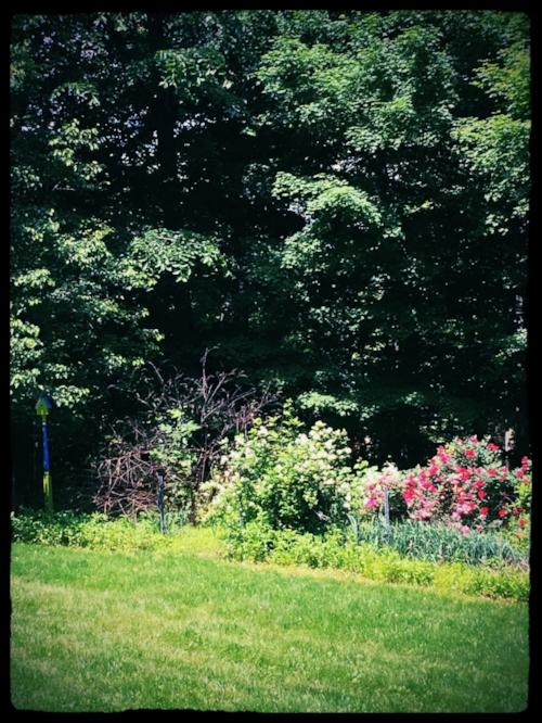 My front yard (overgrown) flower garden.