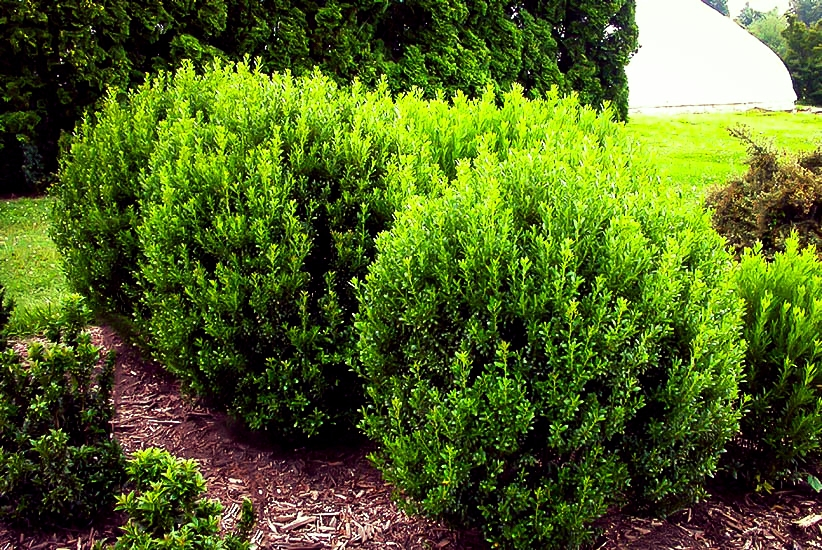 Inkberry Holly - Boxwood's twin, but NATIVE!