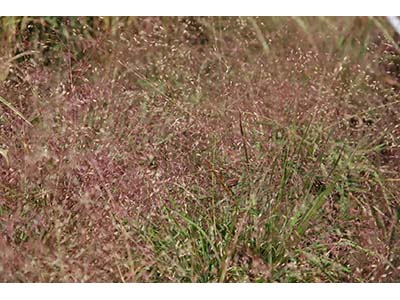Purple Lovegrass,  Eragrostis spectabilis   Image Source: © David J. Stang / Wikimedia Commons /  CC BY-SA 4.0