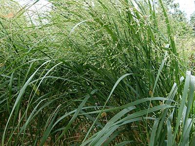 Switchgrass,  Panicum virgatum   Image Source: ©  Dinkum  / Wikimedia Commons /  CCO 1.0