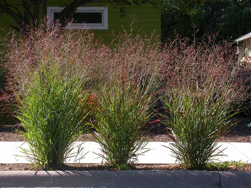 Switchgrass provides habitat for many species and can be planted as a nice focal point in the garden.  Image Source: ©  Matt Lavin  / Panicum virgatum /  CC BY-SA 2.0