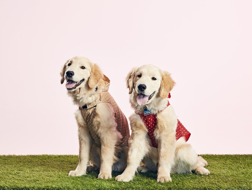 HERSHEY (L) + JONES (R)6 months/Golden Retrievers - Brothers who love biting each other's faces, will sit 9/10ths of the time, enjoy listening to jazz and R&B.
