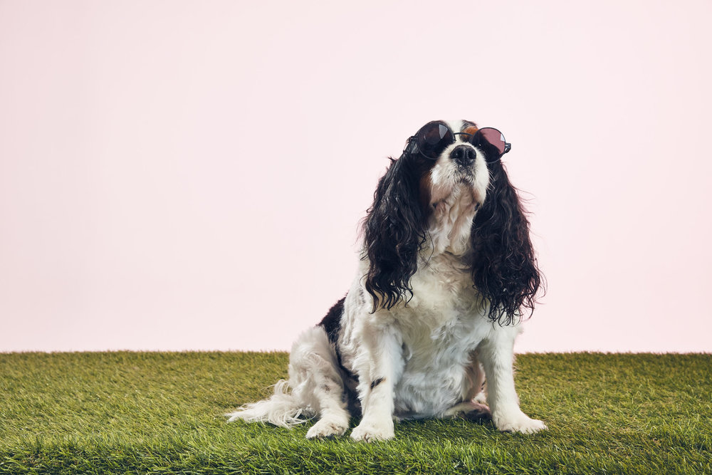 SHMENDS10/King Charles Cavalier Spaniel - Biggest appetite in North America, not afraid to show off his singing voice, loves John, Chrissy, and Luna Legend, the best part of @RemsAndShmends. RIP.
