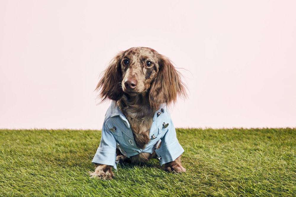 BOJI 1/Dachshund - Small but mighty, fashionista with an eye for style, always ready for an adventure.