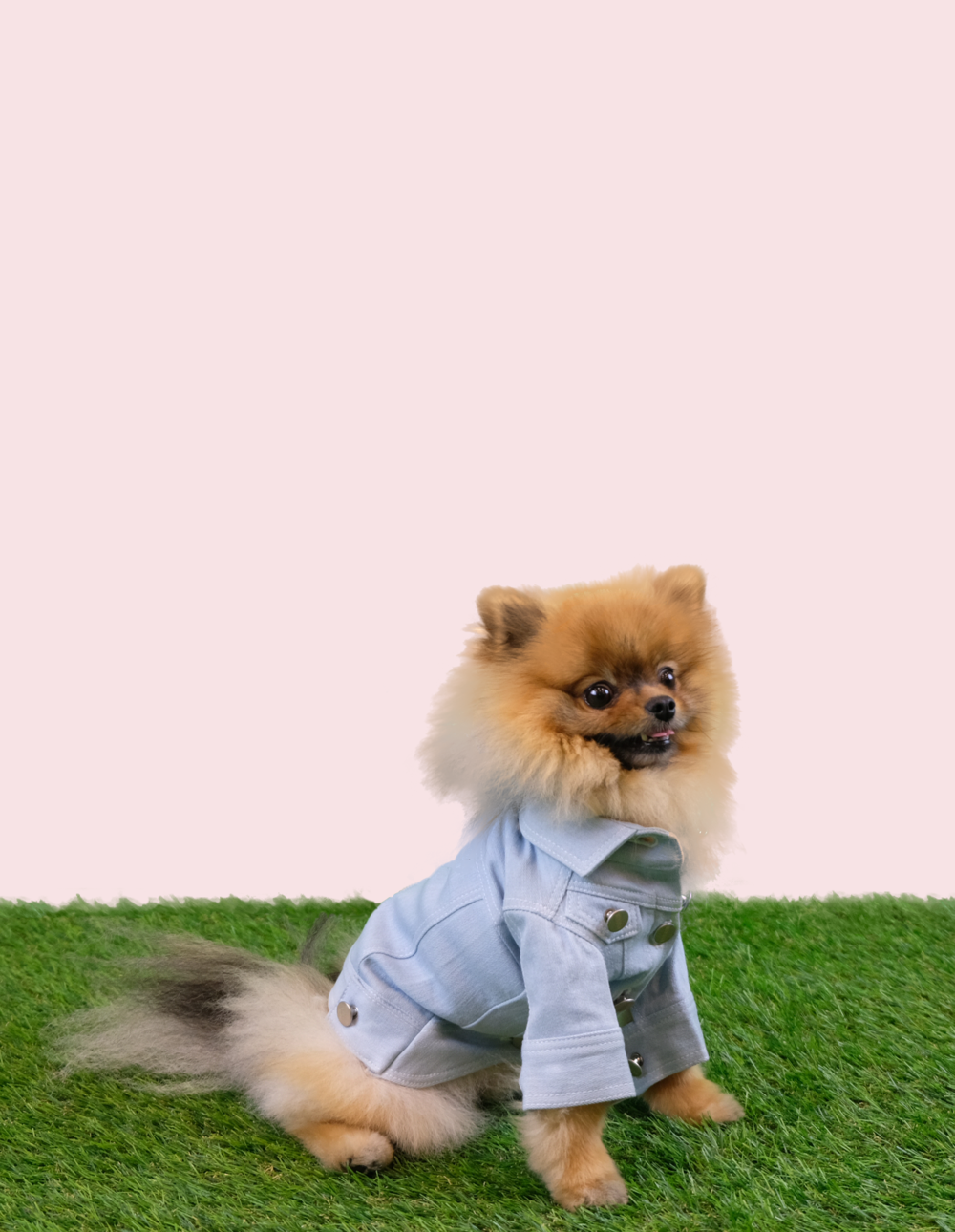 KODI1/Pomeranian - A dude confident in his own skin. Loves the colour pink, Elle Woods is his idol.