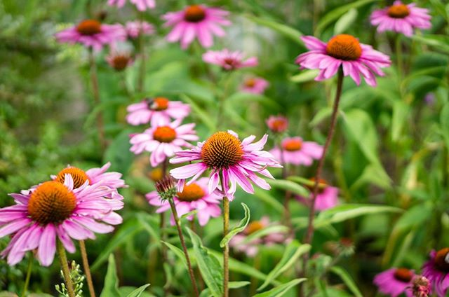 ECHINACEA // As it gets colder and we enter Kapha season, we all need more immune and respiratory defense. Used in Native American medicine for many years, Echinacea tinctures and teas can help treat respiratory tract infections and can also help boost the immune system (especially when used in tandem with turmeric)!