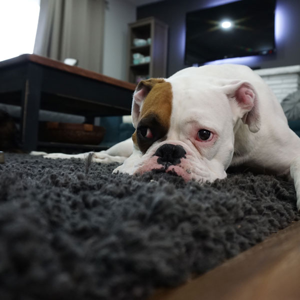bulldog-on-carpet.jpg