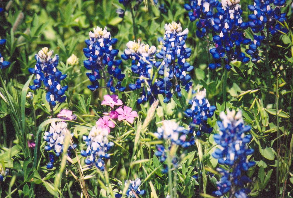 bluebonnets2003.jpg