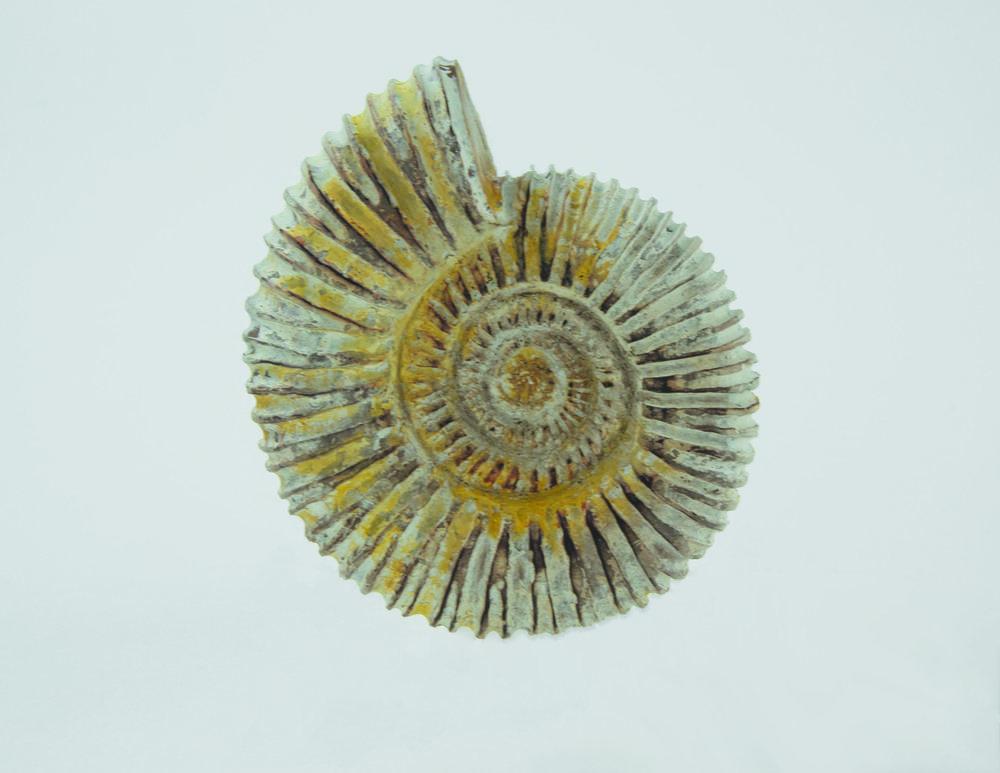 AmmoniteFossiltop300.jpg