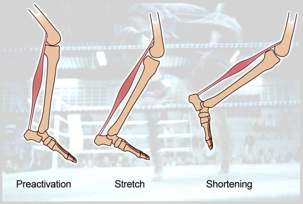 """The """"stretch-shortening cycle"""" to demonstrate how muscles can utilize elastic energy during running."""