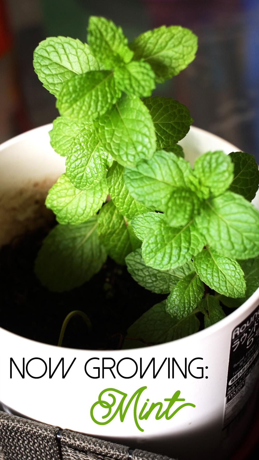 mint-plant.jpg