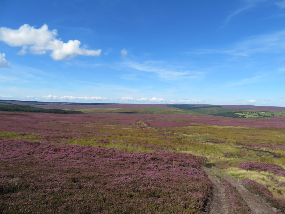 North Yorkshire Moors Heather.JPG