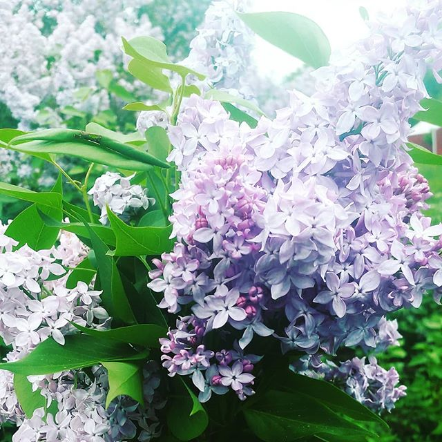 Throwback to lilac season!!!
