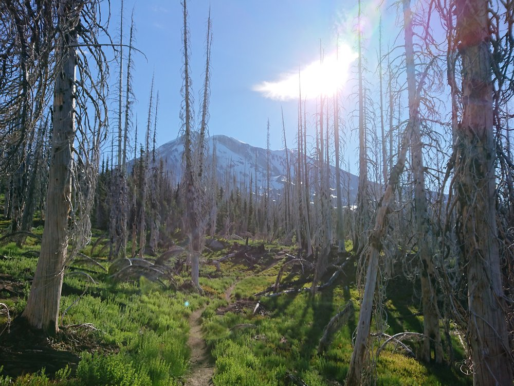 Mount Adams through an old burn area