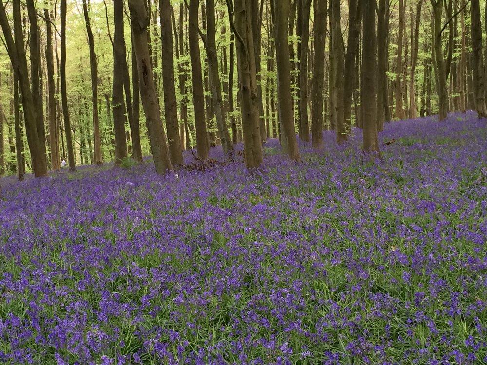 bluebell+woods.JPG