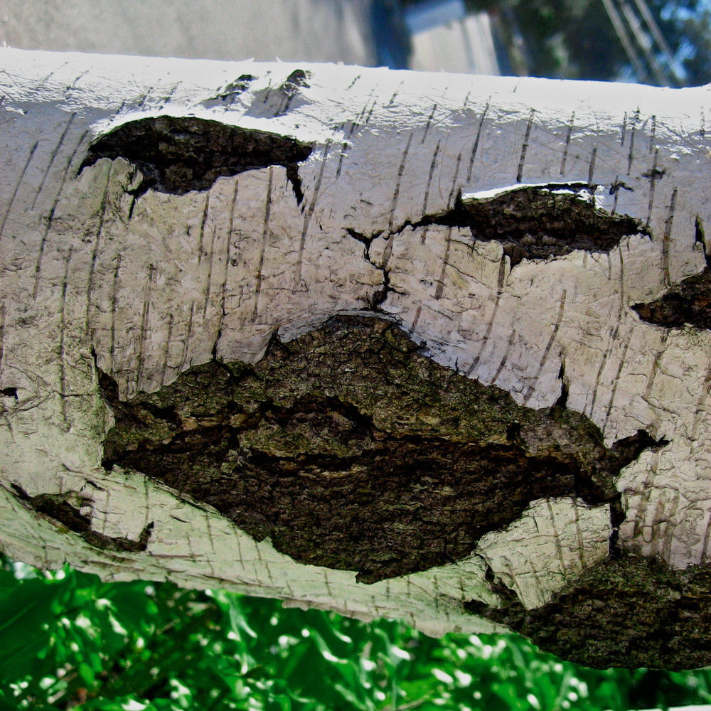 Birch Smiley, 1.jpg