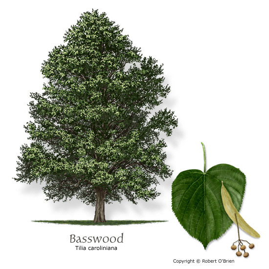 The American Linden Basswood Tree