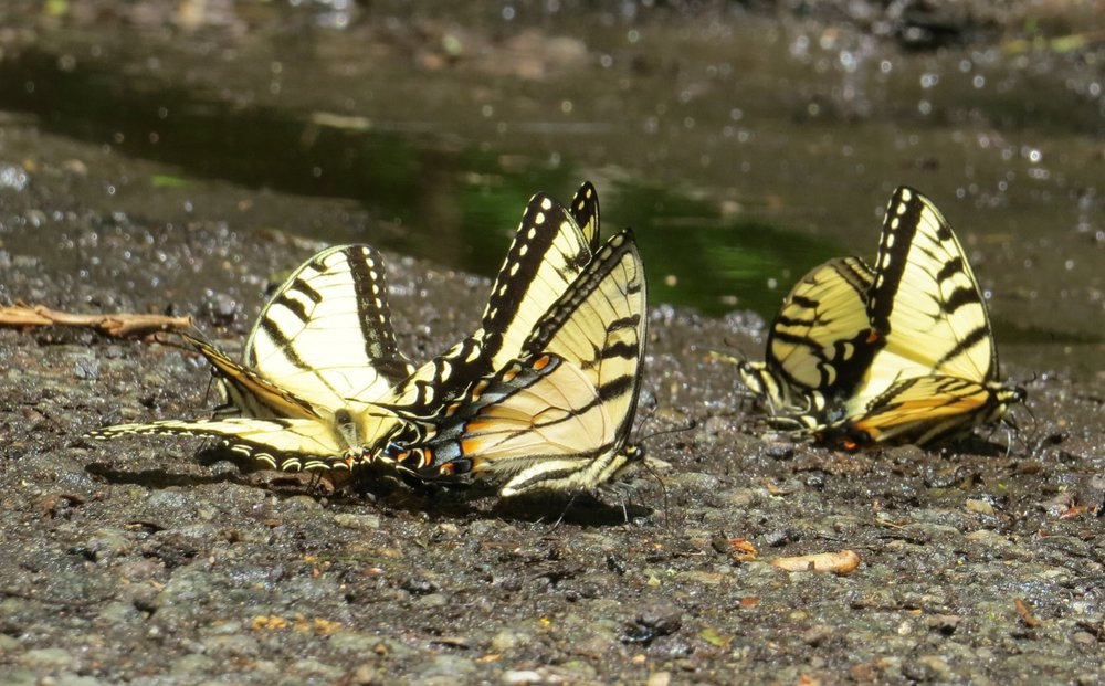 Eastern Tiger Swallowtails puddling