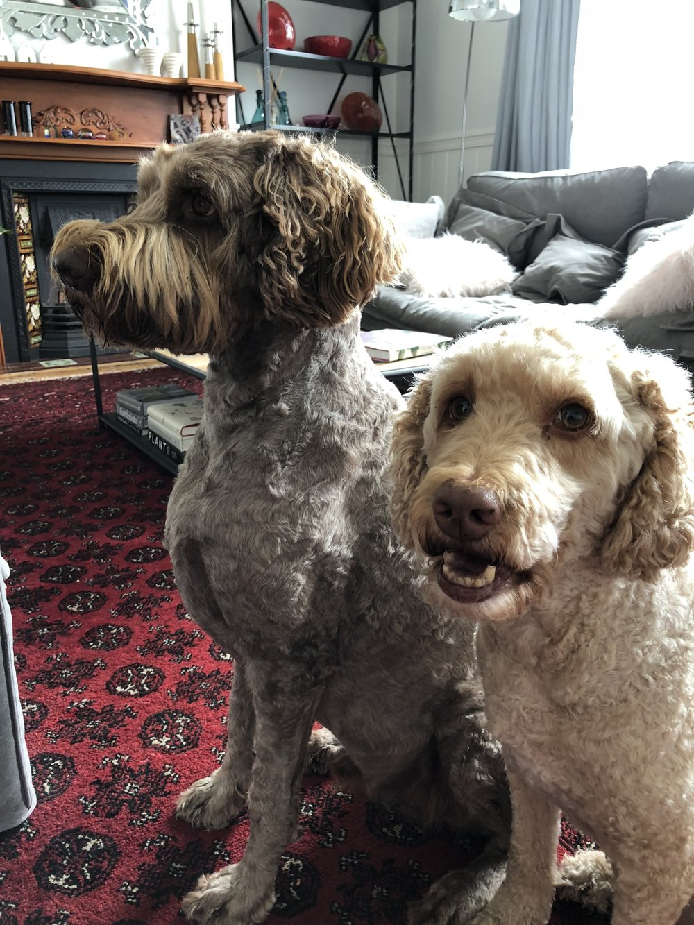 Our two beautiful Labradoodle boys - Charlie & Bertie