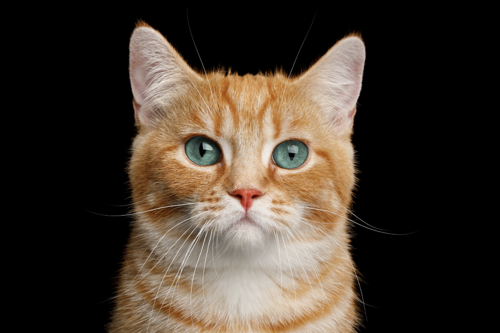 The hairs of a cat's coat are highly sensitive to movement and give valuable information about the environment – they keep the coat fastidiously clean